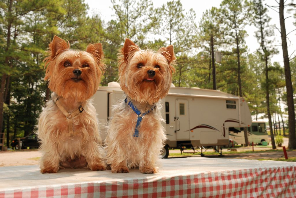 yorkies sitting on a picnic table at a campgrounds