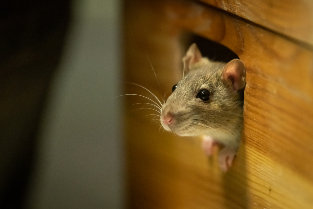RV Mouse Control - One cute rat looking out of a wooden box
