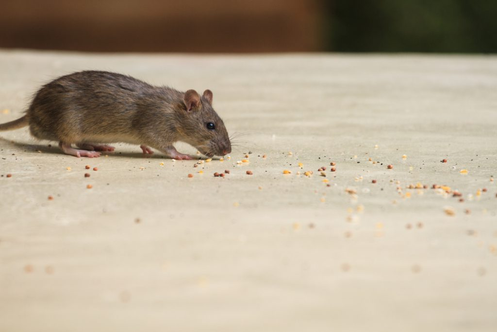 RV Mouse Control - mouse sniffing crumbs